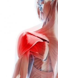 анатомия строения мышц плеча