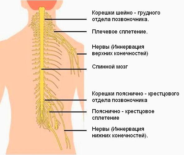 Нервные сплетения спинного мозга