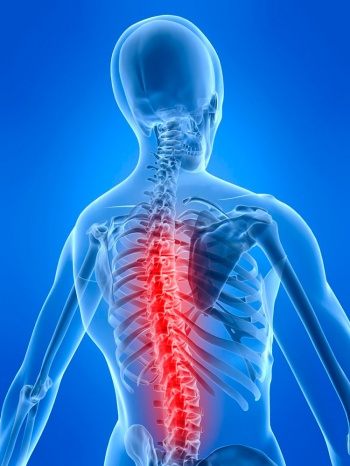 Белое вещество спинного мозга человека выполняет функцию