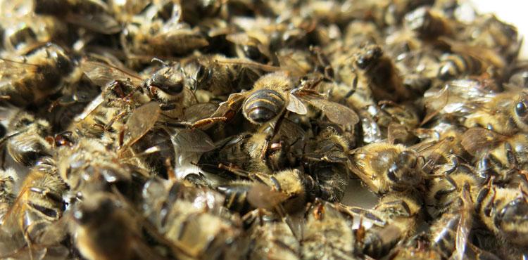 подмор из пчёл