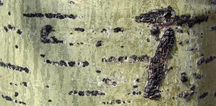 осиновая кора от паразитов