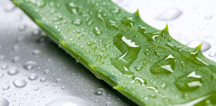 Aloe receptek a prosztatitisből)