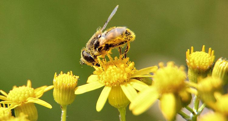 простатит пыльца мед