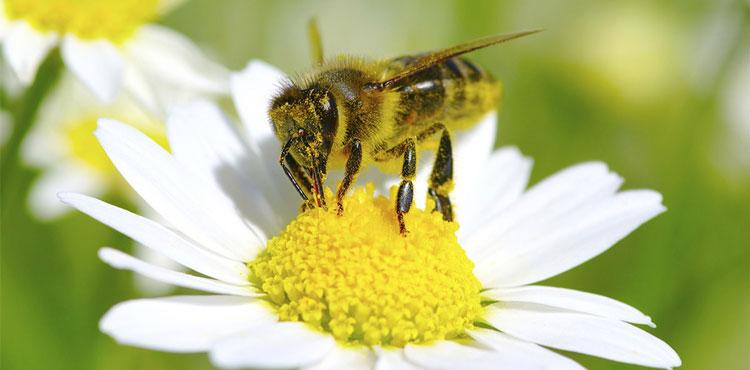 пчелоужаливание при простатите