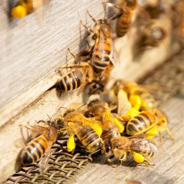 пчёлы на улье