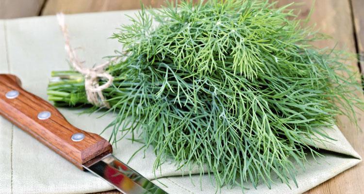 Семена укропа при недержании мочи