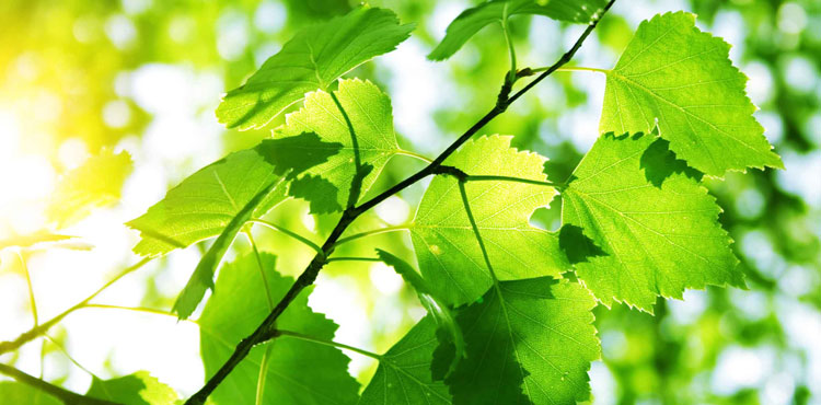 Березовые листья от простатита thumbnail