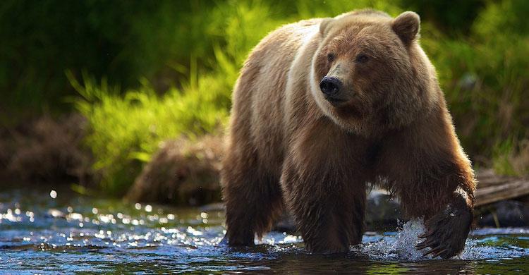 медвежий желчь простатит