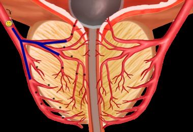 схема кровеносных сосудов простату